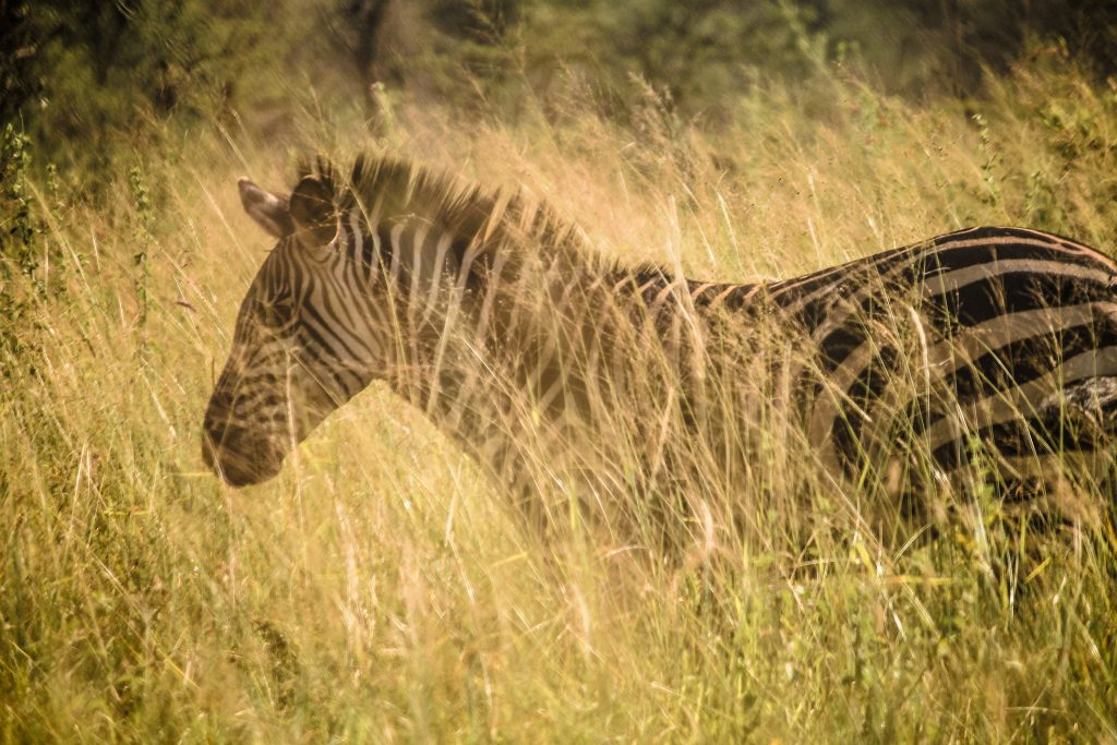 Zebra in the Fade by Ryan Tidrick